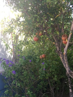 First time seeing a pomegranate tree